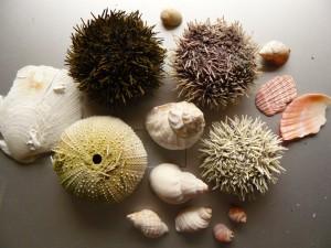 schelpen,zee-egels