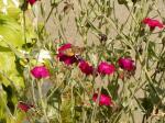 Kolibrievlinder in Tavascan