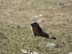 0158 Marmot in de Benasque vallei